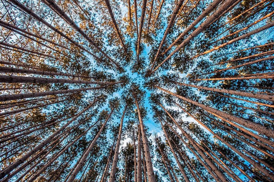 delirul ignoranţei - poză copaci înalţi